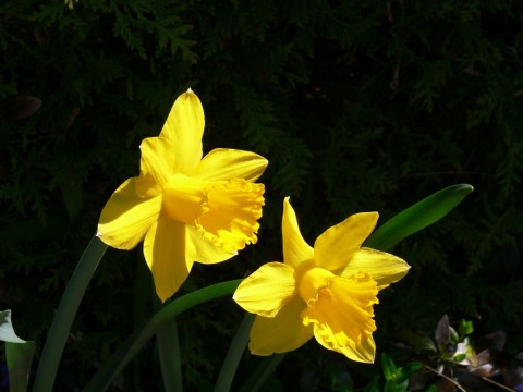 Daffodils-May 8-13
