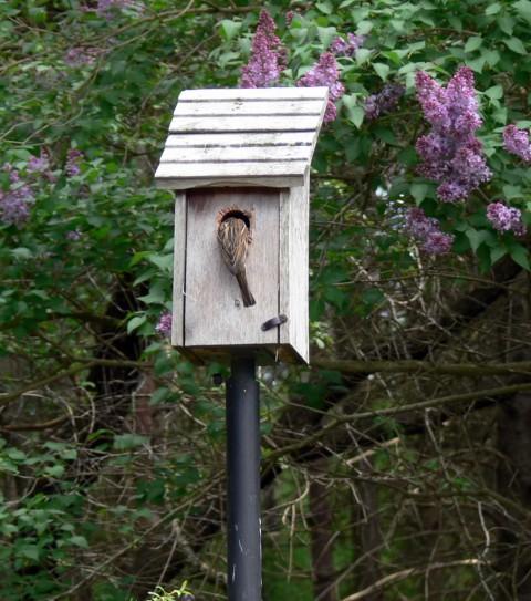 Mother sparrow feeding babies-1024-May 19-13
