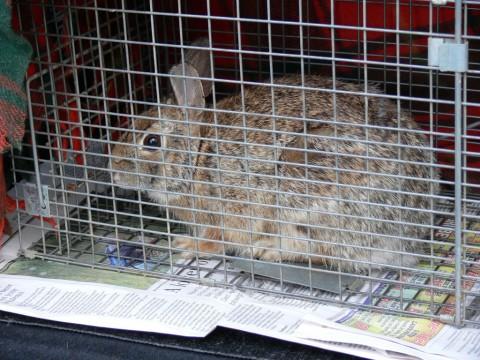 Rabbit No. 4-May 8-13
