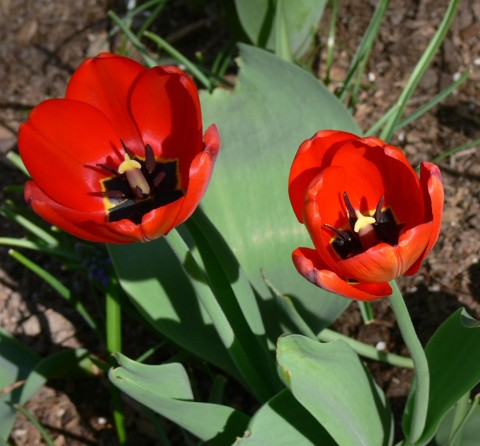 Tulip fire - 1024-May 7-13