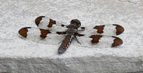 Dragonfly - 1024 - Jy 25-13