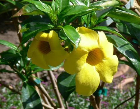 Golden Bells - or - Allamanda - Jy 25-13