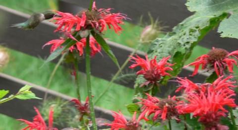 Hummingbird, bee balm - 1024