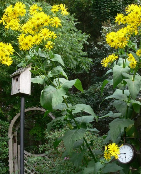 Giant daisies & clock-1024--Aug.30-13