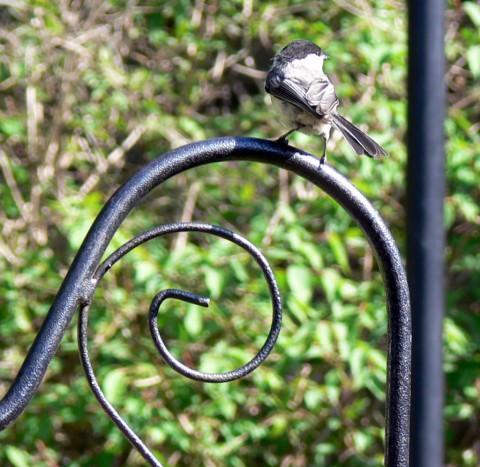 Blog-May_24-14-Baby chickadee 1024-on hoop