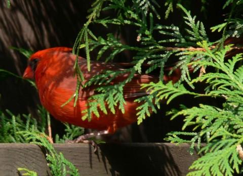 Cardinal in cedar-1024
