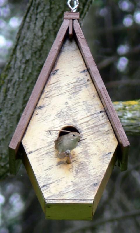 June 1-wren on perch,1024-twig behind her