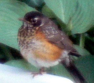 June 13-14-robin baby -cropped on chair
