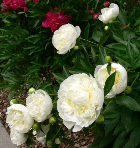 June 13-Peonies -1024-white & buds