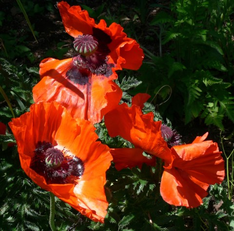 June 13-Poppies, orange,1024-Riverside Park