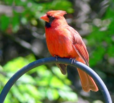 June 15-14-Cardinal-1024- on hoop