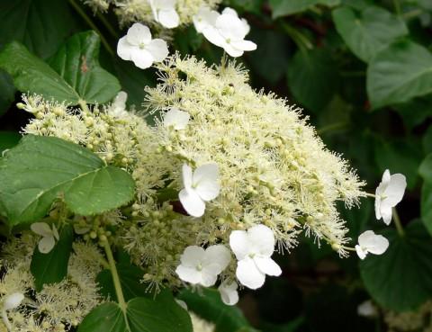 June 18-14-hydrangea-1024- bloom