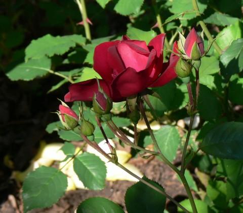 June 19-14-r-1024-rose