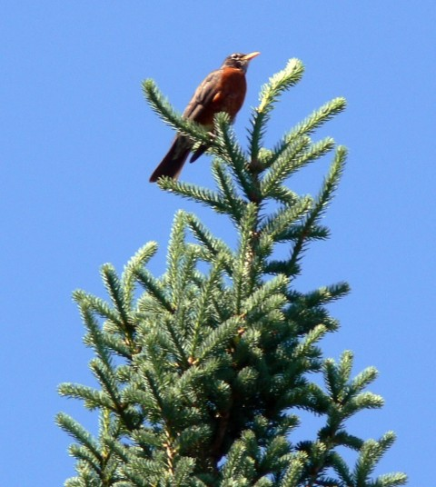 June 19-14-robin on-1024- tree top