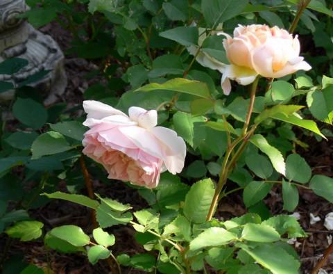 June 20-14-2 David-1024-2-Austin roses-pink