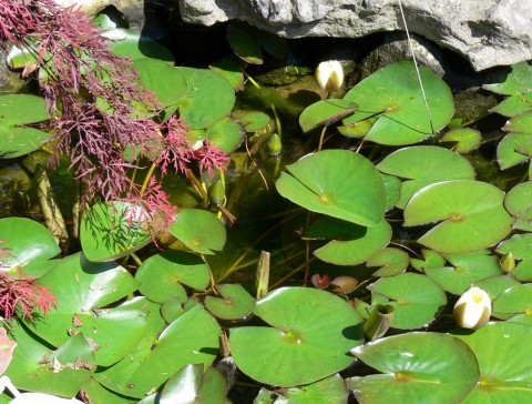 June 9 - How many-1024- waterlily buds