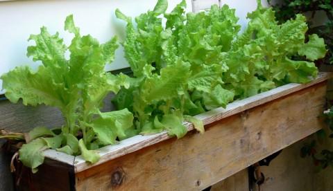 June 9-lettuce-1024- in garden on the wall