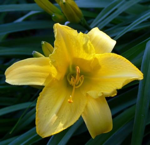 July 11-14-yellow lily-1024