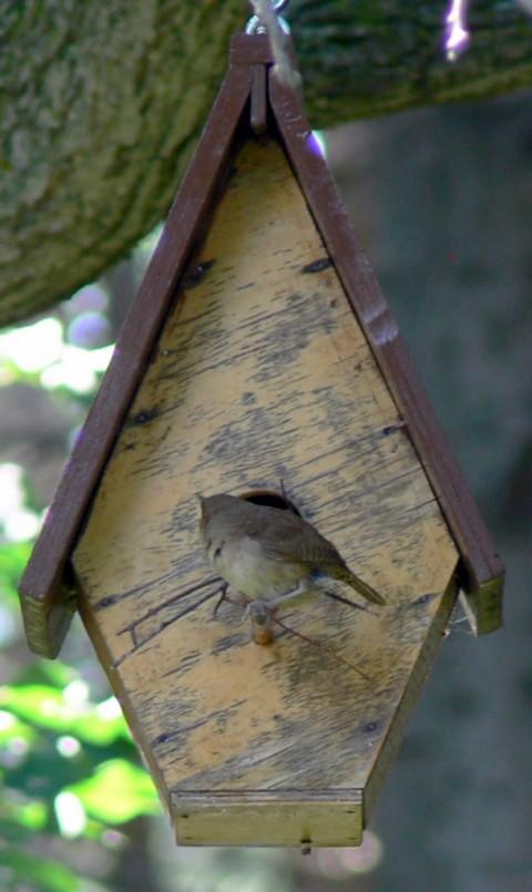 July 12-14-fat wren-1024-on perch