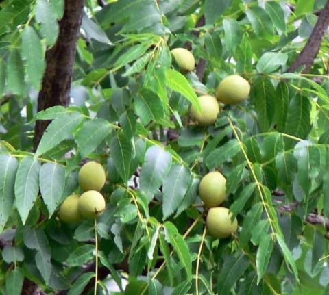 July 12-14-walnuts-size OK