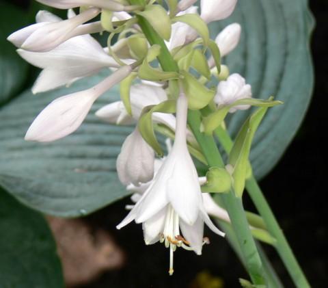 July 14-14-hosta lily-1024