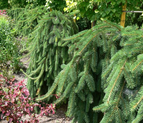 July 15-14-Hedge of Dwarf Weeping -1024-Norway Spruce