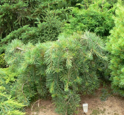 July 15-14-Unusual conifers-1 of-1024-a kind in Canada