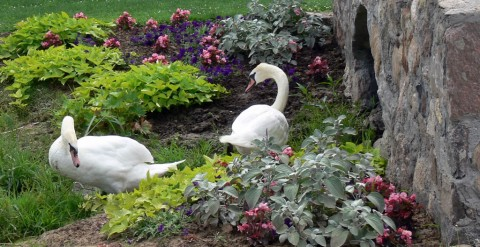July 15-14-two swans in flowerbed-1024