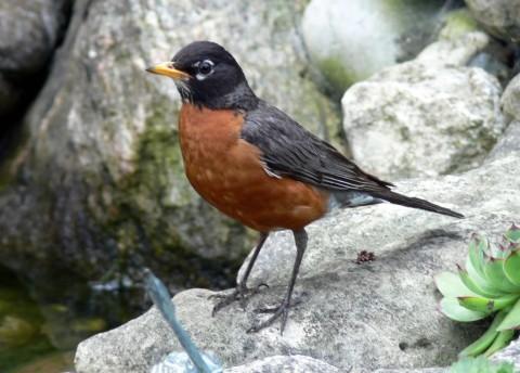 July 18-14-Robin on pond -1024-rocks