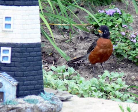 July 18-14-robin in flowerbed-1024