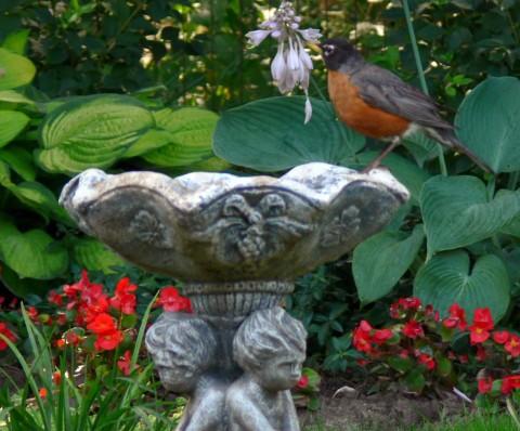 July 18-14-robin on bird-1024-bath
