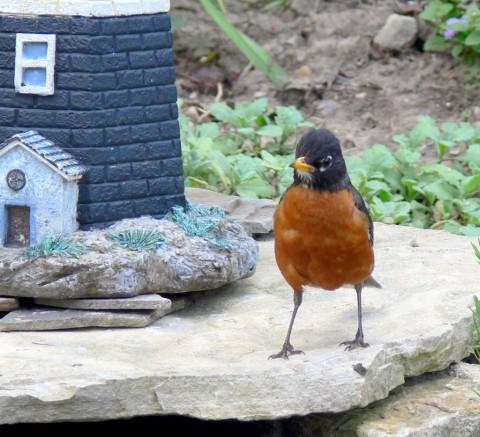 July 18-14-robin on foundation -1024-of lt