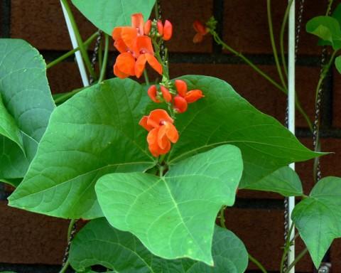 July 21-14-Climbing Beans-1024-in flower