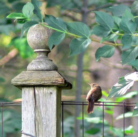 July 21-14-Wren wire fence-1024