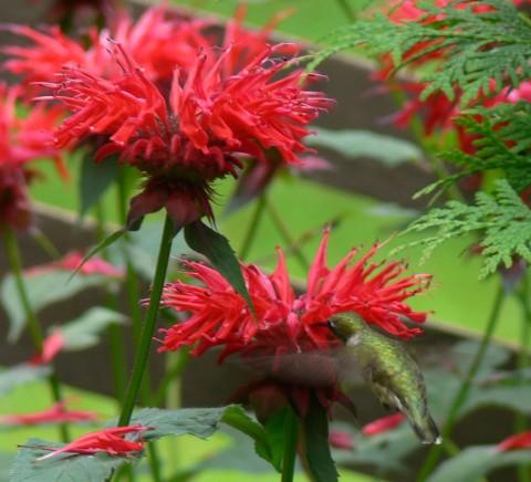 July 21-14-hummingbird sip-1024
