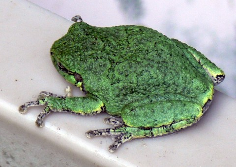 July 22-14-tree frog in bench