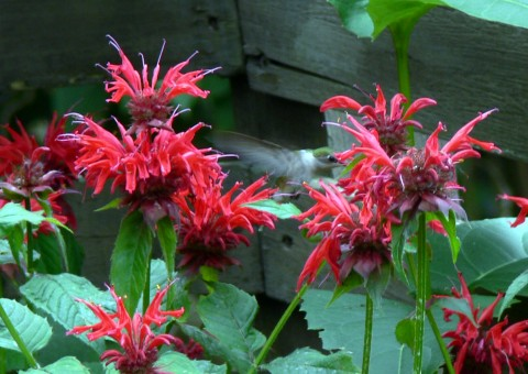 July 23-14-hummer in bee balm