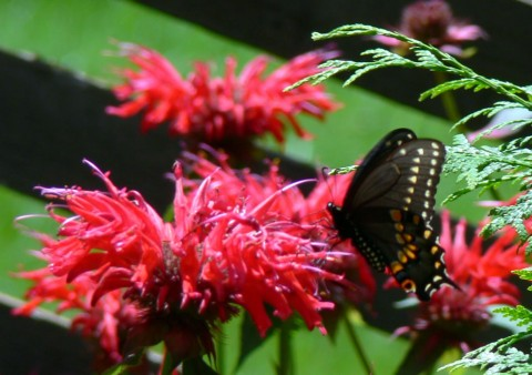 July 24-14-Black Swallowtail sip-1024-ping