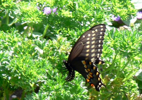July 24-14-Swallowtail lays eggs on parsley