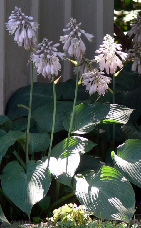July 24-14-hosta blooms-1024