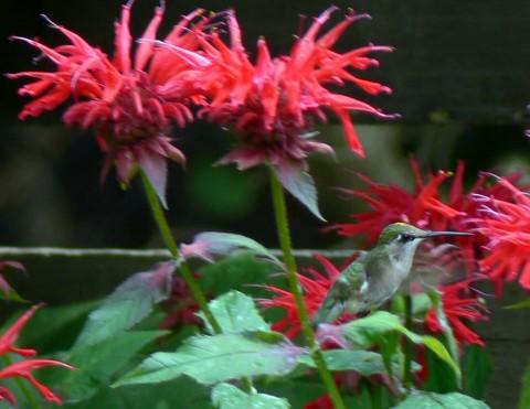 July 25-14-Hummer sitting-1024-on bee balm leaf