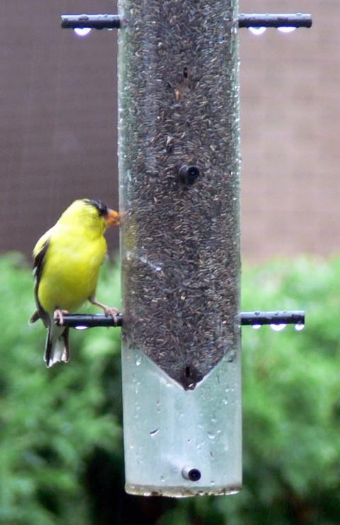 July 28-14-goldfinch eats in rain-1024