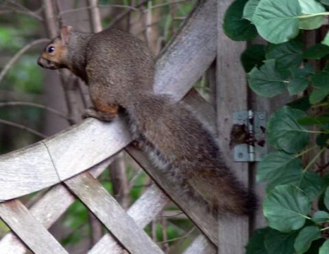 July 28-14-grey squirrel on gate-1024
