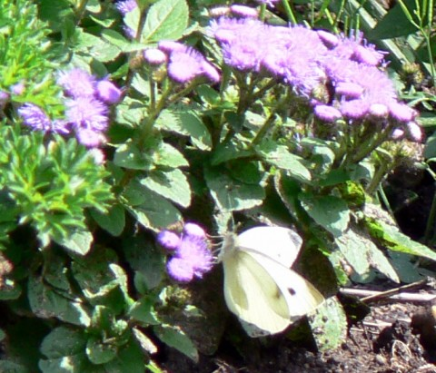 July 28-14-w. butterfly on ageratum