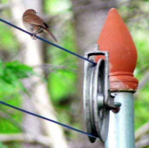 July 29-14-wren on clothesline-1024