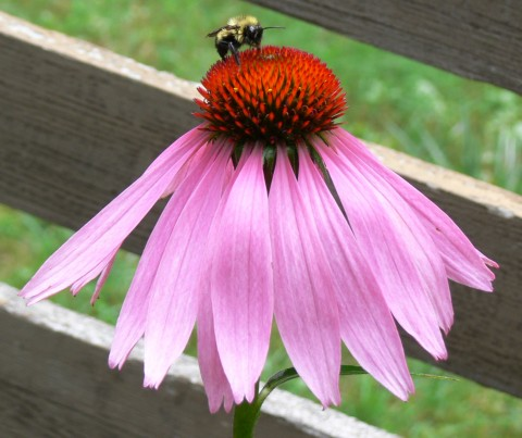 July 30-14-bumblebee on cone flower