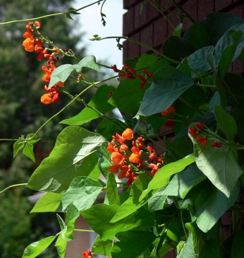 July 30-14-climbing -1024-beans