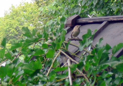 July 30-14-on mulberry tree.jpg-size OK
