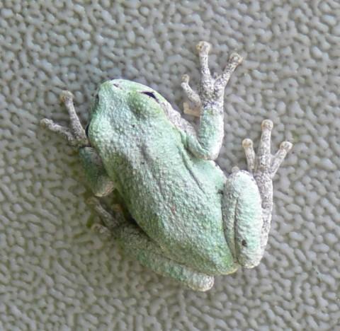 July 4-14-flat frog-808