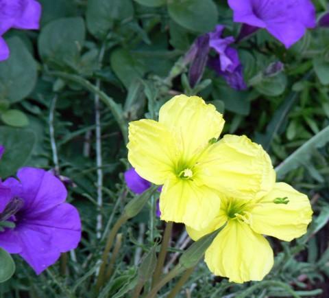 July 5-14-evening primroses-1024
